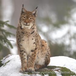 De Euraziatische lynx komt nog voor in de Karpaten. / Foto: © Martin Mecnarowski (http://www.photomecan.eu/).